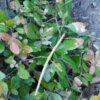 ナナフシの生態や特徴を大紹介!細くて可愛いと話題に!オスを見つけたら即ニュースレベ