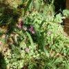 イモカタバミってどんな植物?可愛い花を咲かせる雑草!庭によく生えている?