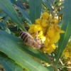 ミツバチの働き蜂は全員メスってほんと?オス蜂はどこにいるの?