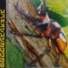 スペキオシスシカクワガタの生態や特徴を大紹介!ムシキングで人気になった昆虫!