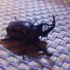 カブトムシが鳴く!?交尾時に鳴く理由や鳴き声とは?