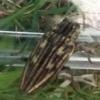 ウバタマムシの生態や特徴を大紹介!天敵を欺く擬態が上手な珍しいタマムシ!