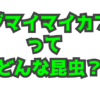 エゾマイマイカブリってどんな昆虫?北海道のマイマイカブリ
