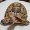 ギリシャリクガメの特徴や飼い方を大紹介!人になつくペットに人気なリクガメ!