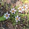 ニワゼキショウを大紹介!白・青・赤紫の花を咲かせるかわいい植物!