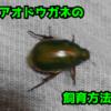 アオドウガネの飼育方法を大紹介!飼育のしやすい昆虫です!